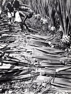 Cutting Sisal By Hand 1950s