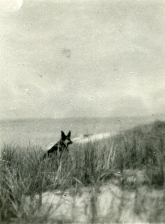 Pet Alsatian Dog In The Dunes c.1947