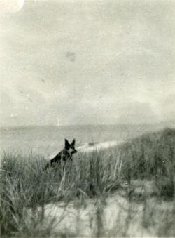 Pet Alsatian Dog In The Dunes c.1947