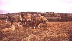 Harvesting on Broomhouse Farm 1950