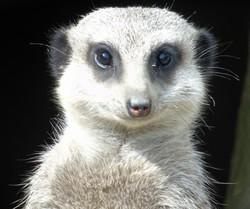 Meerkat memories - Edinburgh Zoo