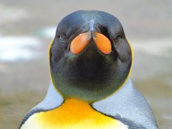 Eye to eye with a penguin.