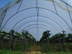 Picking our own strawberries in a polytunnel at Craigie's farm
