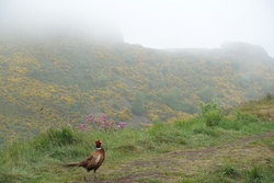 Pheasant in the fog