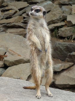 Meerkat, Edinburgh Zoo