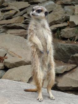 Meerkat, Edinburgh Zoo