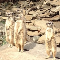 Meerkats, Edinburgh Zoo
