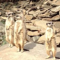 Meerkats, Edinburgh Zoo
