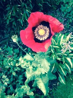 Poppy, Edinburgh Botanic Gardens