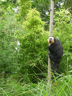Monkey, Edinburgh Zoo