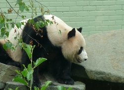 Yang Guang, male panda at Edinburgh Zoo