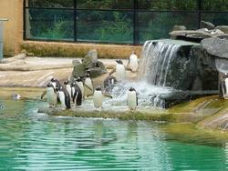 Penguins at Edinburgh Zoo