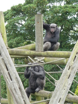 Chimpanzees at Edinburgh Zoo