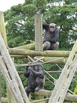 Chimpanzees at Edinburgh Zoo