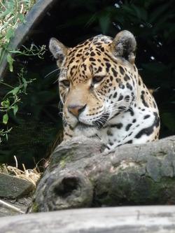 Amur Leopard, Edinburgh Zoo