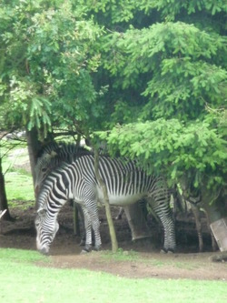 Zebras at Edinburgh Zoo