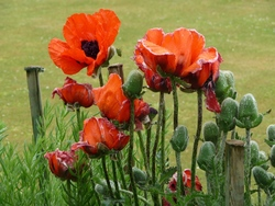 Poppies at Botanics