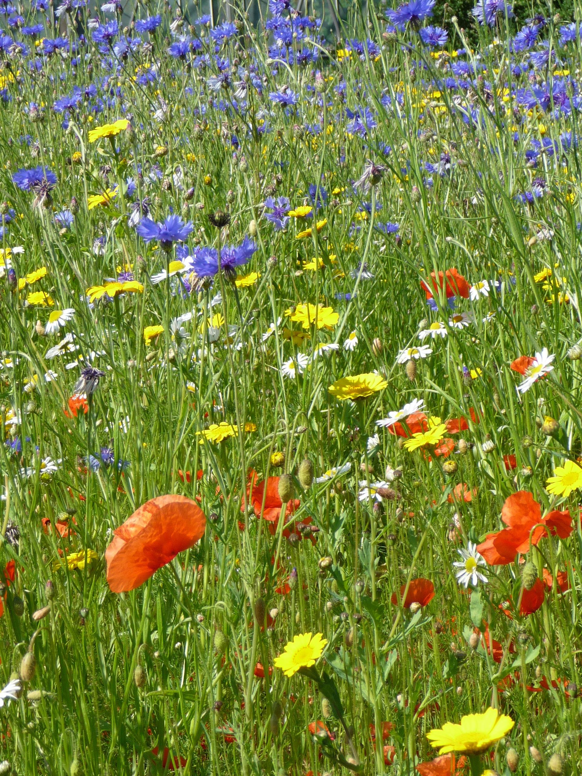 Flower meadow at the Botanics