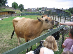 Friendly Jersey cow at Gorgie City Farm