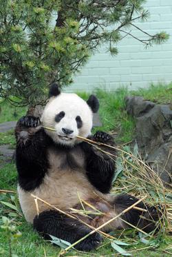 Yang Guang, (Sunshine), male Giant Panda eating bamboo