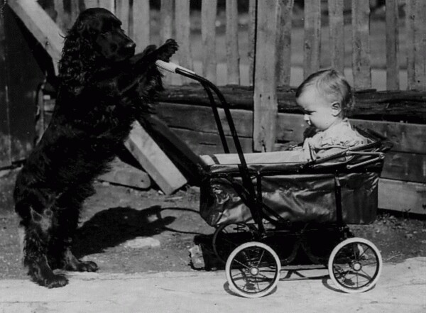 Dog Pushing Baby In Pram 1936