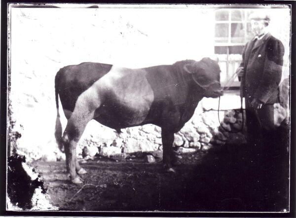 Belted Galloway Young Bull c.1900