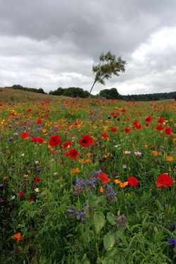 Floral Meadow at Silverknowes Foreshore July 2015