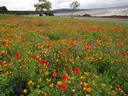 Floral Meadow at Silverknowes Foreshore in full bloom 2015