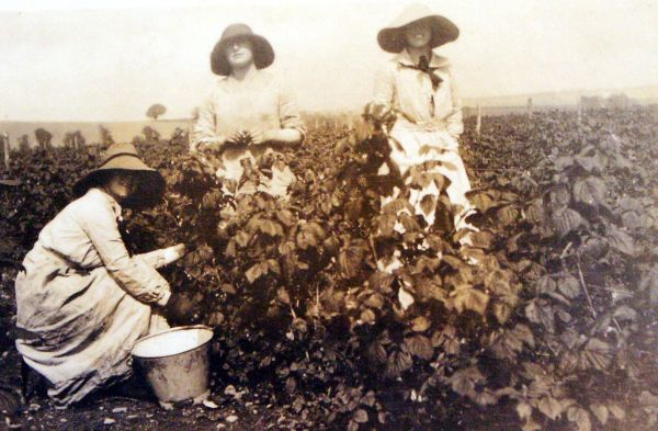 Three Women Picking Fruit c.1916