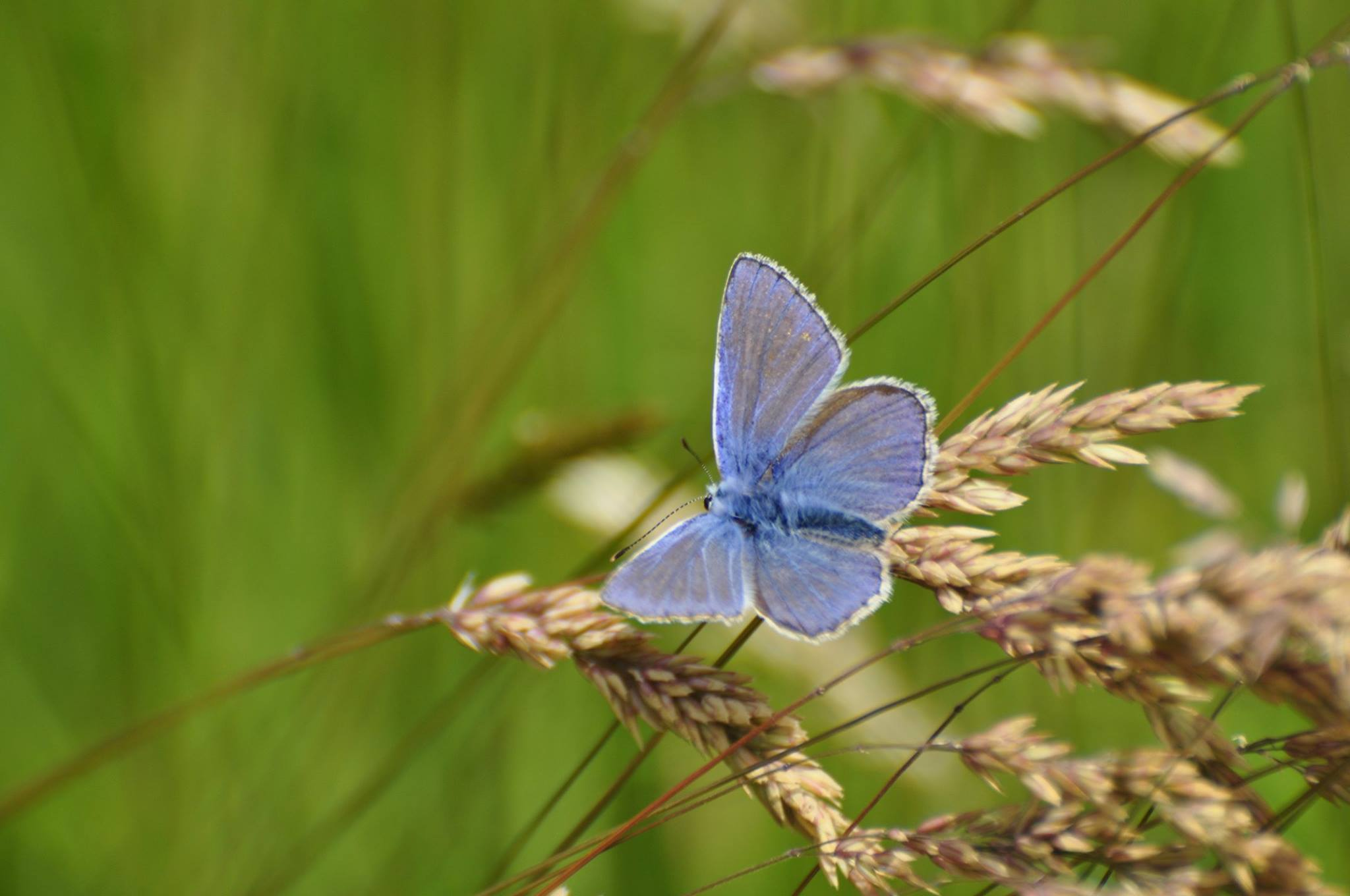 Common Blue Butterfly at Corstorphine Hill