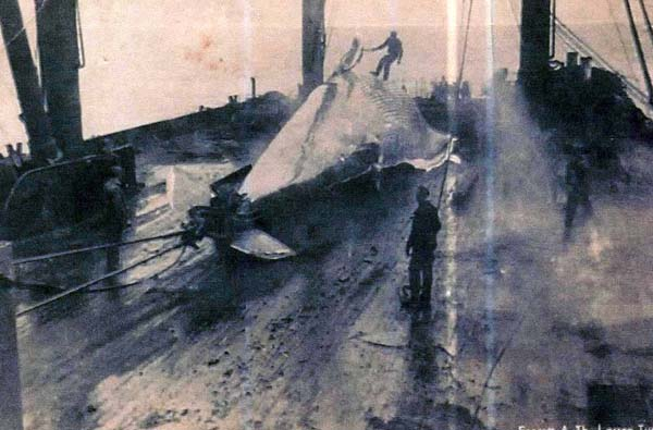 Winching Whale Carcass On To Whaling Ship c.1937