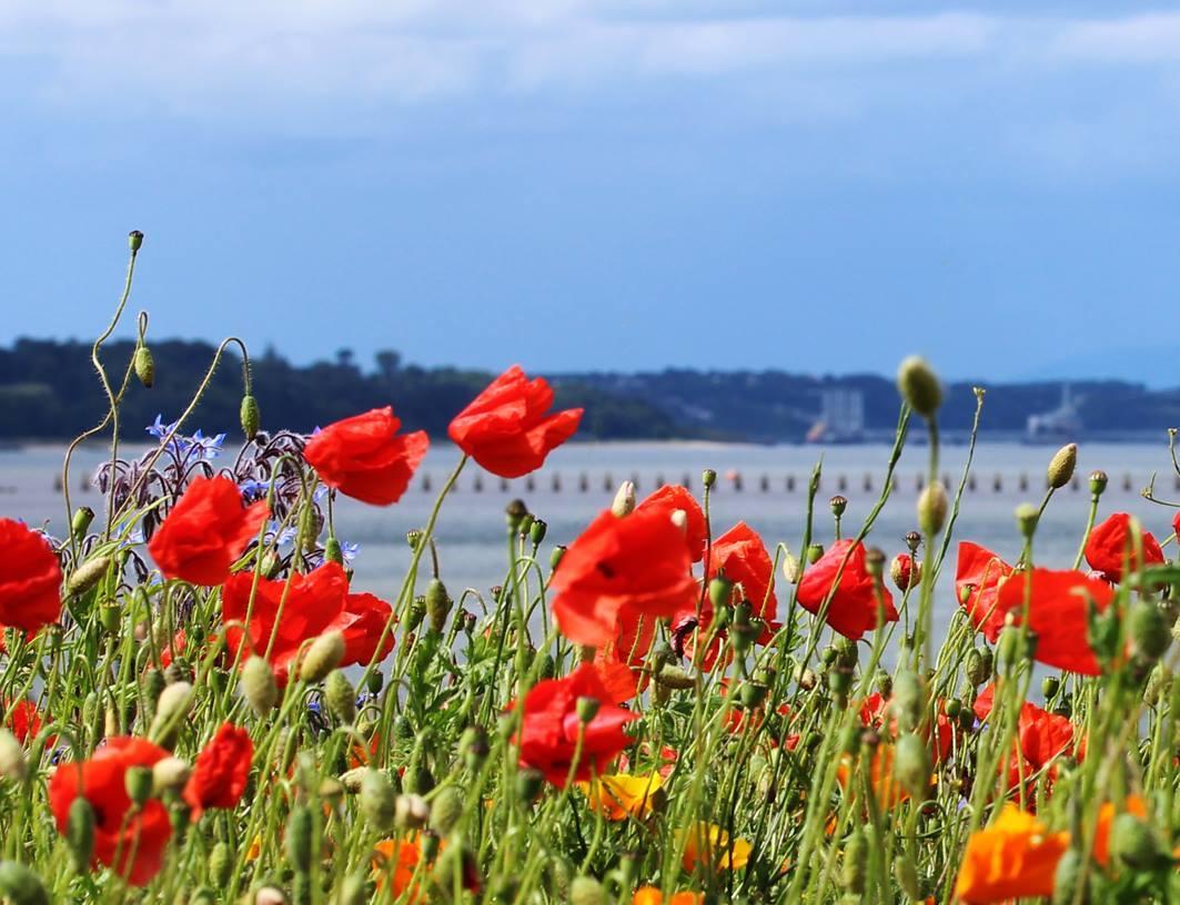 Poppies at Cramond Causeway