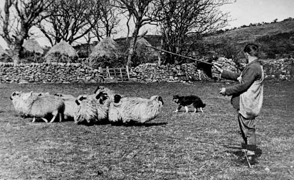 Shepherd Herding Sheep 1940s