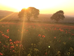 A poppy sunset