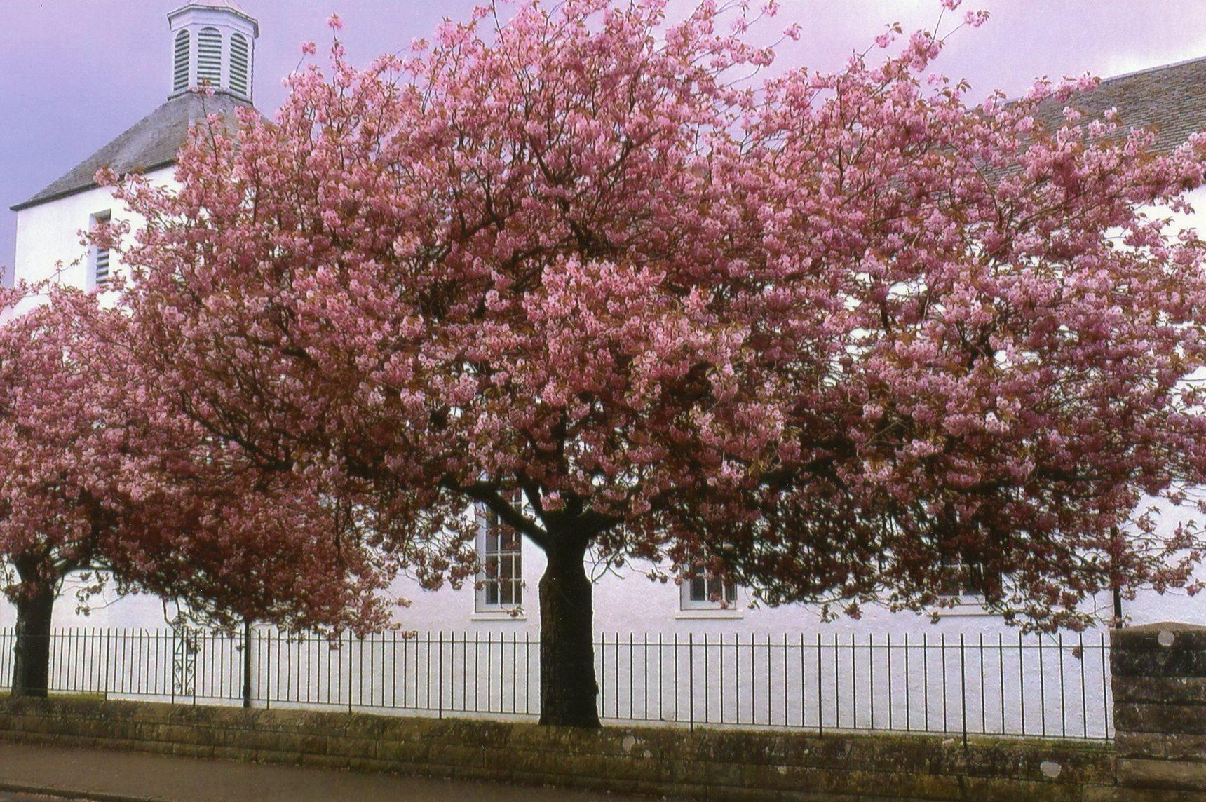 Cherry Tree outside Colinton Mains Parish Church