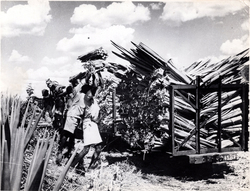 Loading Sisal Leaves Onto Cart 1950s