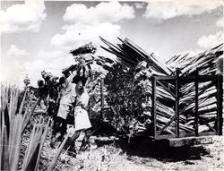 Loading Sisal Leaves Onto Cart 1950s