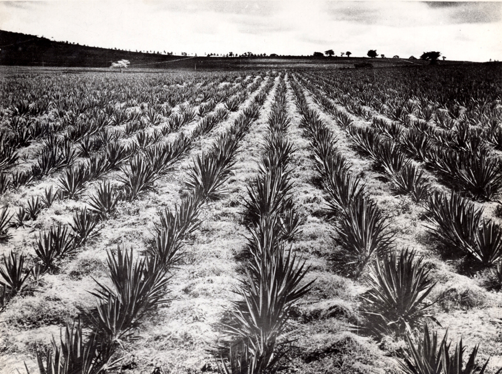 Field Of Sisal - Used In Production Of Rope, Twine, Cloth 1950s